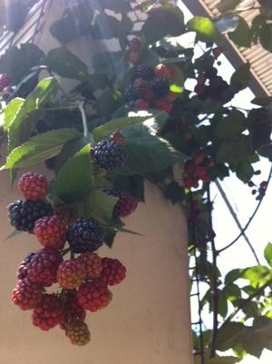Blackberry1_2
